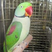 Александрийские попугаи фото