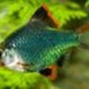 Рыбки Барбус фото