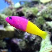 Псевдохромис королевский (Pseudochromis paccagnellae) фото