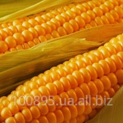 Кукуруза AS13280 фото