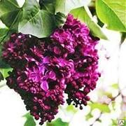 Сирень обыкновенная Фрэнк Патерсон фото