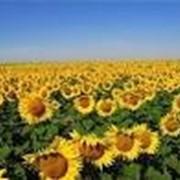 Семена подсолнечника Меридиан Сербия фото