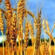 Пшеница 3-го класса,пшеница фото