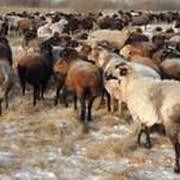 Овцы Эдильбаевской породы любого возраста фото