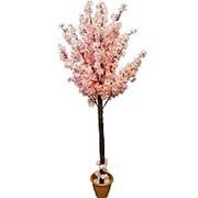 Сакура цветущая нежно-розовая 150 см (без горшка) фото
