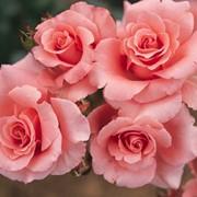 Розы чайно-гибридные, Роза Пари д′Ив Сен Лоран фото