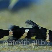 Касатка сиамская фото