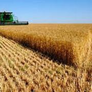 Озимая пшеница Безенчукская-380 фото