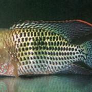 Рыбка аквариумная Cichlasoma var фото