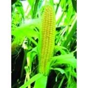 Кукуруза сахарная LS №779 F1 100c фото