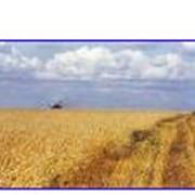 Экспорт пшеницы Услуги по оптовой торговле фото