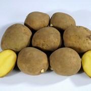 Картофель технический фото
