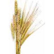 Сельхозпроизводство зерновых фото