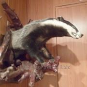 Чучело барсук лесной, серый 1, настенное, 4 кг фото