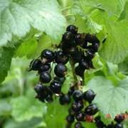 Смородина черная, лист фото