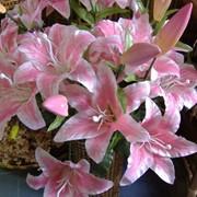 Лилия розовая. Высота - 95 см фото