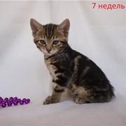 Кошка Алисия Золото Курил фото