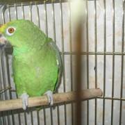 Желтолобый (Суринамский) амазон фото