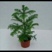 Араукария Heterophylla фото