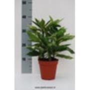 Аукуба japonica Variegata фото
