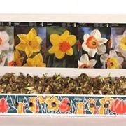 Луковицы цветов -- Bloembollen фото