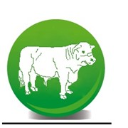 Герефорд коровы фото