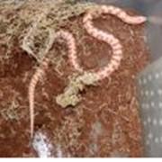 Королевская змея красивобрюхая альбинос фото