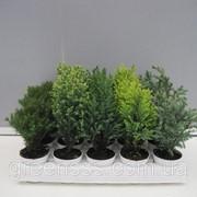 Хвойные микс -- Conifers mixed фото