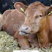 Племенные бычки казахской белоголовой и герефордской породы фото