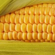 Кукурудза гибридная Зунергі Saaten-Union фото