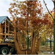 Посадка взрослых деревьев. Посадка крупномеров до 20 метров высотой! фото