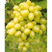 Виноград Виноград Аркадия фото