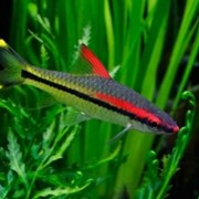 Рыбка Барбус Денисона фото