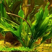 Аквариумное растение Эхинодорус Ашерсона фото