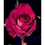 Роза Hot-Ambiance. фото