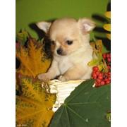 Собаки Чихуа-хуа фото