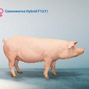 Гибридная свинка F1 фото