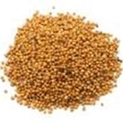 Семена горчицы фото