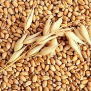 Пшеница на экспорт, grâu, wheat, продам пшеницу фото