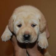 Щенки собак Лабрадор фото