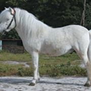 Лошадь породы Шетлендский пони фото