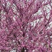 Эфирное масло розового дерева фото