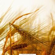 Продажа зерновых как на рынке Украины, так и за ее пределами фото