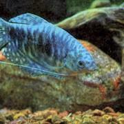 Рыбка аквариумная пресноводная фото