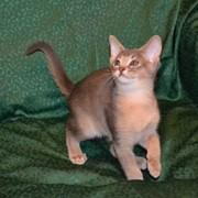 Абиссинские котята голубого и сорель окрасов фото