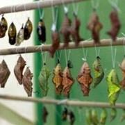 Куколки тропических бабочек фото