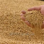 Пшеница от 1000тн фото