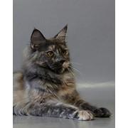 Кошки породы мэйн кун фото