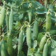 Горох овощной Р1 С/Э, элита фото