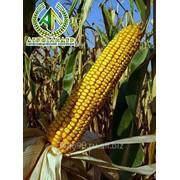 Семена кукурузы Краснодарский 385 МВ фото